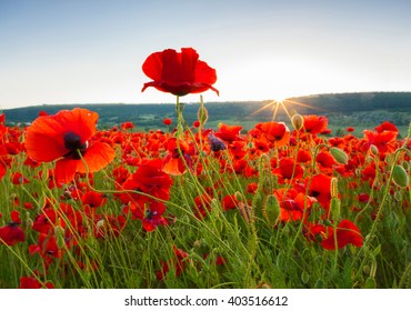 Field of poppies against the setting sun