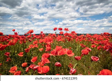 Field of poppies and blue sky in the summer time