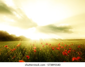 Field of poppies flowers on a sunset.Wild poppies landscape