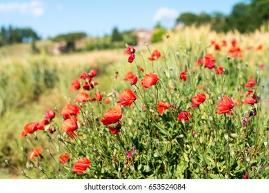 Field of poppies on a beautiful sunny day.
