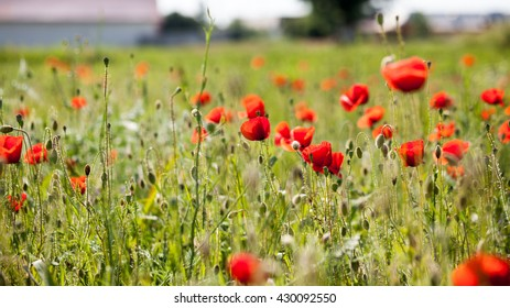 Field with poppies (Papaver rhoeas)