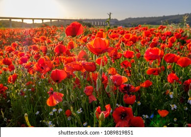 Field of poppies, sunset. Provence, France.