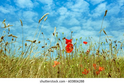 Field of poppies and wheat in summer season