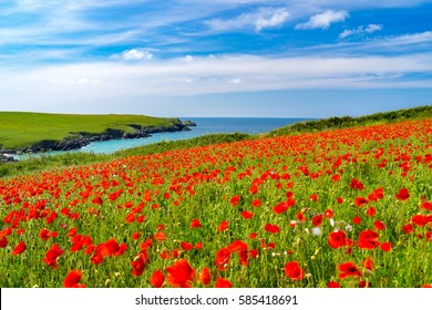Field of Poppies and wild flowers above Porth Joke beach near Newquay Cornwall England UK Europe