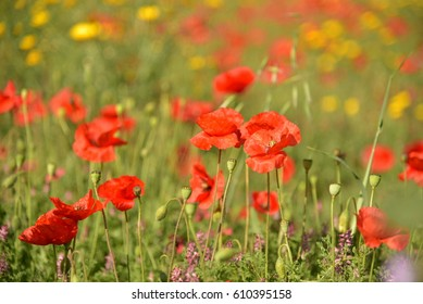 field with poppy flowers and yellow flowers