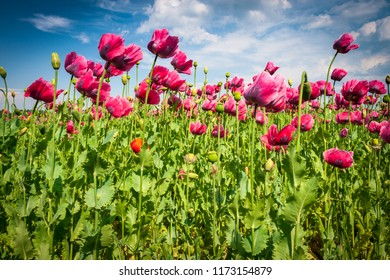 Field Poppy Plants with Blue Sky on Background, Czech Republic, Europe.