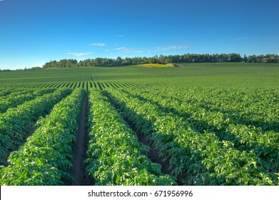 Field of potato with deep row hills