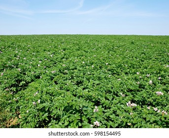Field of potatoes in the spring, white blooms, blue sky without clouds in the background, bio food production, horizon, scent of summer