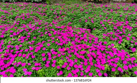 Field of pretty petite pink petals of Sultana flowers blooming on green leaves, small bud in a park, know as Busy Lizzie, Patience plant