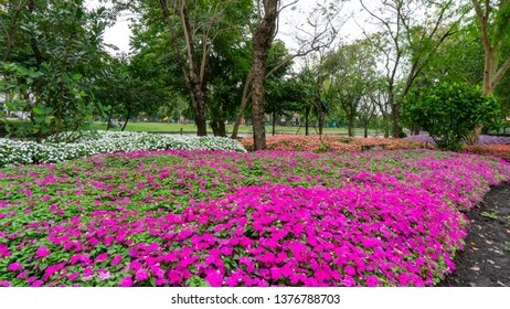 Field of pretty petite pink, white and orange petals of Sultana flowers blooming on green leaves, small bud in a park, know as Busy Lizzie, Patience plant