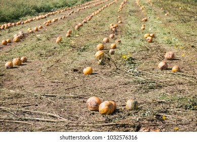 Field of pumpkins after harvest on a field in Austria