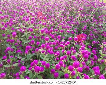 Field of purple allium, allium millenium