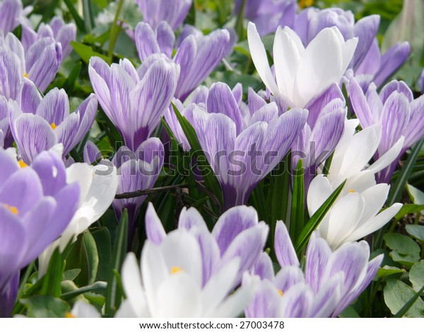 field of purple crocus flowers