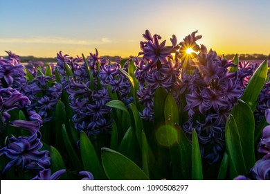 A field of purple hyacinths and a setting sun peaking through the flowers