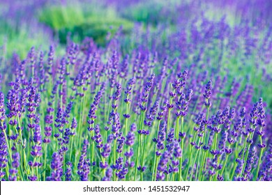 A field of purple lavender flowers