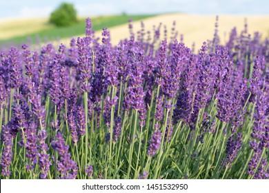 A field of purple lavender flowers