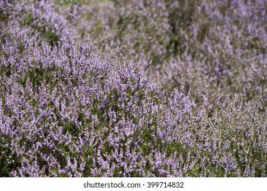 Field of purple moor flowers