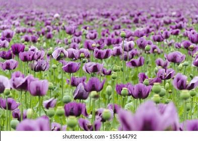 Purple poppy images stock photos vectors shutterstock field of purple poppy mightylinksfo