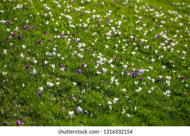 Field with purple and white crocuses on green grass hill, natural floral background