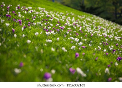 Field with purple and white crocuses on green grass hill, natural floral background, selective focus