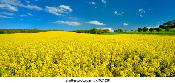 Field of Rapeseed blossoming under Blue Sky with Clouds, distant tractor with sprayer