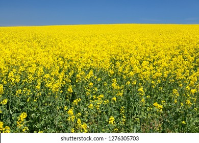 field of rapeseed, canola or colza with blue clear sky, brassica napus, golden flowering rape seed field, plant for oil industry and green energy