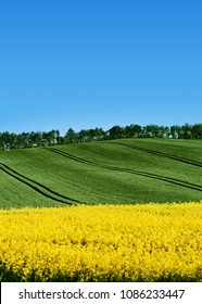 Field of rapeseed, canola or colza, brassica napus  with green field hilly background with tractor  tracks. Germany meadow in spring