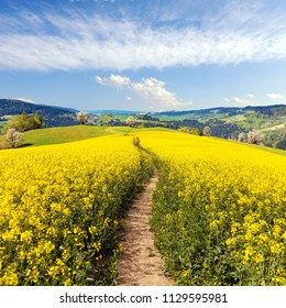 Field of rapeseed, canola or colza in Latin Brassica napus with path way and beautiful cloudy sky, rapeseed is plant for green energy and green industry, springtime golden flowering field