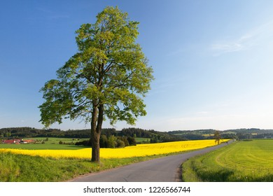 Field of rapeseed, canola or colza, in latin Brassica Napus, lime tree and road,rape seed is plant for green energy and green industry, springtime golden flowering field