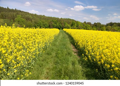 Field of rapeseed, canola or colza in Latin Brassica Napus with rural road, rapeseed is plant for green energy and oil industry, springtime golden flowering rape seed field