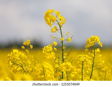 Field of rapeseed, canola or colza in Latin Brassica Napus with beautiful cloud, rape seed is plant for green energy and green industry, springtime golden flowering field
