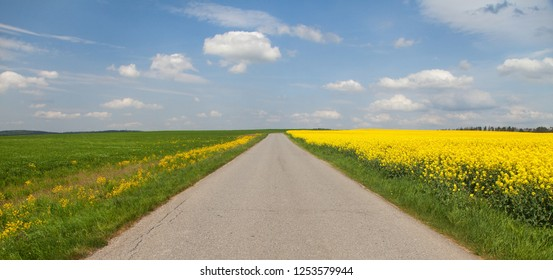 Field of rapeseed, canola or colza, in latin brassica napus with rural road and clear blue sky - rape seed is plant for green energy and green industry