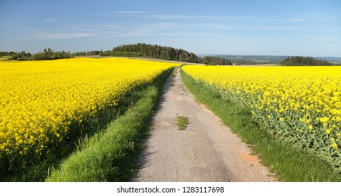 Field of rapeseed, canola or colza, in latin brassica napus with rural road and  blue sky with beautiful clouds - rape seed is plant for green energy and oil industry