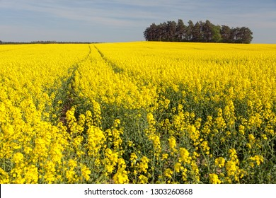 Field of rapeseed, canola or colza in Latin Brassica napus, rape seed is plant for green energy and green industry, springtime golden flowering field