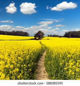 Field of rapeseed, canola or colza in Latin Brassica napus with path way, rapeseed is plant for green energy and green industry, springtime golden flowering field