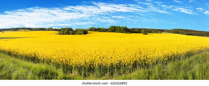 Field of rapeseed, canola or colza in Latin Brassica Napus with beautiful cloud, rape seed is plant for green energy and green industry, springtime golden flowering field, panoramic view