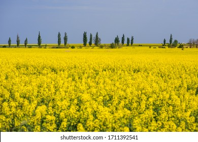 Field of rapeseed, canola or colza, rape seed is plant for green energy and green industry, springtime golden flowering field