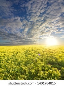 field of rapeseed colza oil  sunset background