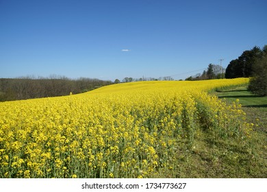 A field a rapeseed grows in eastern Pennsylvania.  The crop is cultivated for its oil rich seed.