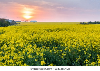 field of rapeseed oil, colza fiel with sunset