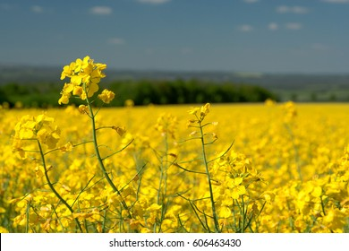field of rapeseed on a bright sunny day