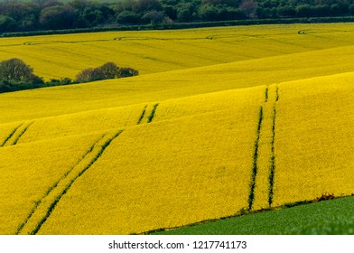 Field of rapeseed punctuated by tracks from a tractor