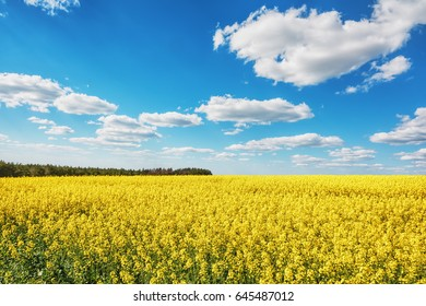 Field with rapeseeds and blue sky with clouds over it.