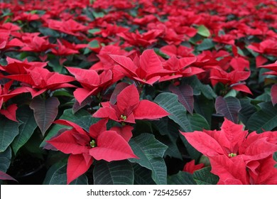 Field of red Christmas stars in greenhouse for sale. Background texture photo of Poinsettia flowers ( Euphorbia Pulcherrima ), Star of Bethlehem, selective focus