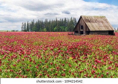 Field of Red Clover, Old Wooden Barn and Trees, Clouds and Sky