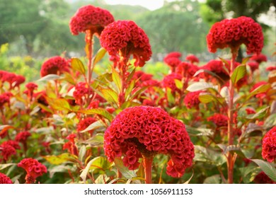 Field of red Cockscomb or Crested celosia in the park