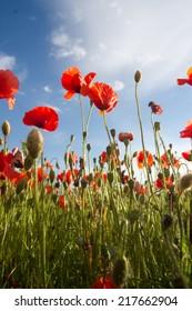 Field of red corn poppy