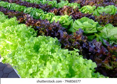 Field of Red and Green frisee lettuce growing in rows on a hydroponic farm