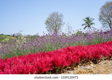 Field of red Plumed Celusia or Wool Flower and purple Vervian or Verbena flower blossom on green leaves under blue sky, verbena is a natural medicine herb, plant in a Verbenaceae botanical name