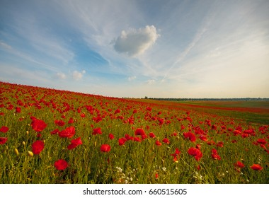 Field of red poppies in a beautiful sunny day